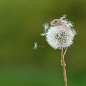 mouse-and-dandilion