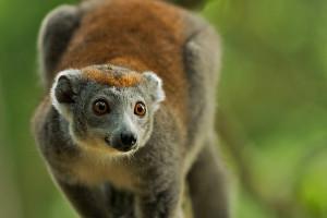 Crowned Lemur, free range troop, Parc Ivoloina, Madagascar